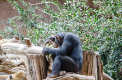 шимпанзе Стоковая Фотография