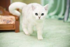 Шиншилла красивой молодой породы кота шотландская прямо стоковая фотография rf