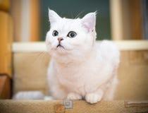 Шиншилла красивой молодой породы кота шотландская прямо стоковые фотографии rf