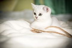 Шиншилла красивой молодой породы кота шотландская прямо стоковые изображения rf