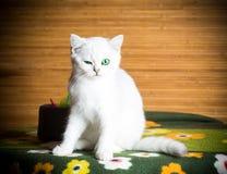 Шиншилла красивой молодой породы кота шотландская прямо стоковое фото rf