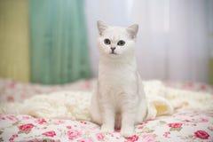 Шиншилла красивой молодой породы кота шотландская прямо стоковое изображение