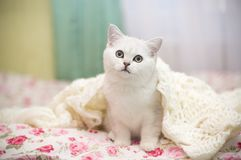 Шиншилла красивой молодой породы кота шотландская прямо стоковые фото
