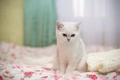 Шиншилла красивой молодой породы кота шотландская прямо стоковые изображения