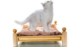 Шиншилла красивой молодой породы кота шотландская прямо стоковое фото