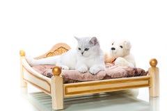 Шиншилла красивой молодой породы кота шотландская прямо стоковая фотография