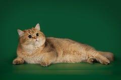 Шиншилла великобританского кота золотая на зеленой предпосылке студии Стоковая Фотография RF