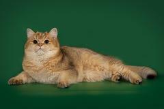 Шиншилла великобританского кота золотая на зеленой предпосылке студии Стоковые Фотографии RF