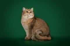Шиншилла великобританского кота золотая на зеленой предпосылке студии Стоковое Фото