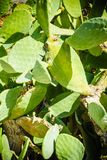 Шиповатая груша зацветая во время лета Стоковое Изображение RF