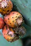 Шиповатая груша, Италия, apulia Стоковые Изображения