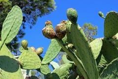 Шиповатая груша с смоквами Стоковые Фотографии RF