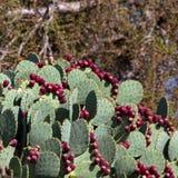 Шиповатая груша, Opuntia Стоковое Изображение