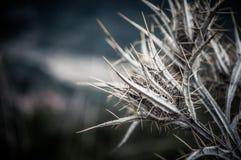 Шиповатый цветок терния Стоковые Фото