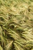 Шипы в ветерке Стоковое Фото