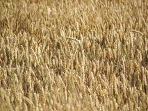 Шипы пшеницы стоковая фотография rf