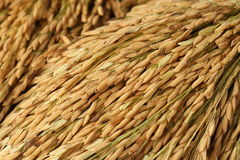 Шипы риса Стоковое Фото
