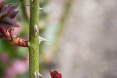 Шипы розы стоковые фото