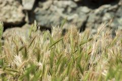 Шипы травы на поле стоковое изображение rf