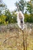 Шипы Cattail с пушком стоковая фотография