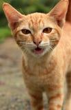 Шипя кот Стоковое Изображение