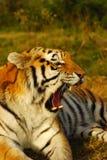 шипя siberian тигр Стоковая Фотография