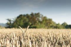 Шип в пшеничном поле Стоковое Фото