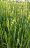 Шип пшеницы Стоковая Фотография