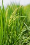 Шип риса в поле риса. Стоковое Изображение RF