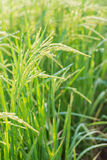 Шип риса в поле риса Стоковое Изображение RF