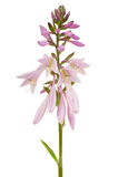 Шип цветка хосты (Funkia или лилия подорожника) на белой предпосылке Стоковое фото RF