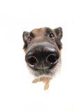 широкая собаки предпосылки угла смешная белая Стоковая Фотография