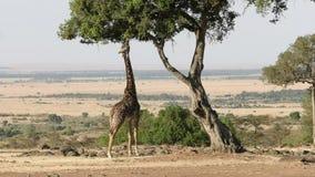 Широкий взгляд жирафа питаясь в masai mara сток-видео
