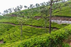 Широкий взгляд зеленых плантаций дерева с деревьями in-between, Ooty, Индия, 19-ое августа 2016 Стоковая Фотография