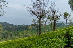 Широкий взгляд зеленых плантаций дерева с деревьями in-between, Ooty, Индия, 19-ое августа 2016 стоковые изображения