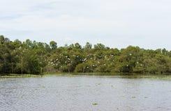 Широкий взгляд Tra Su затопил лес завода индиго, с стадом летания аиста в An Giang, перепад Меконга, Вьетнам стоковое изображение