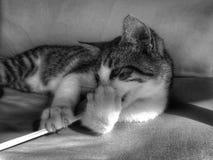 Широкий наблюданный поражанный кот tabby котенка стоковое фото