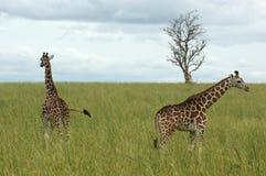 2 жирафа в африканской саванне Стоковые Изображения RF
