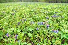 Широкий glade вполне ярких ярких голубых цветков и свежей зеленой травы Стоковое Фото
