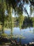 Широкое дерево вербы над прудом в лете Стоковое Изображение