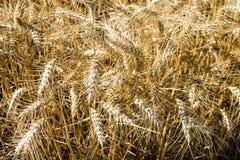 Широкое поле золотой пшеницы во дне лета солнечном Сезон сбора Закройте вверх кукурузного поля готового для дизайна сбора стоковые фотографии rf