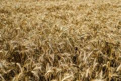 Широкое поле золотой пшеницы во дне лета солнечном Сезон сбора Закройте вверх кукурузного поля готового для дизайна сбора стоковое изображение rf