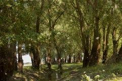 Широкое река и малая заводь в луге лета Пушок тополя Июль -го июнь, Стоковые Фото