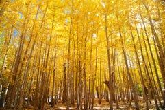 Широкоформатные деревья Aspen падения Стоковые Изображения