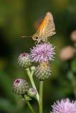шкипер бабочки стоковая фотография rf