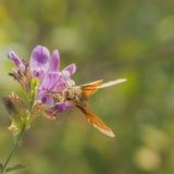 Шкипер на фиолетовом цветке Стоковые Изображения
