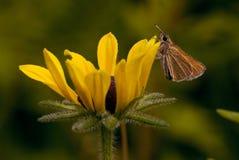 Шкипер на цветении black-eyed susan Стоковое фото RF