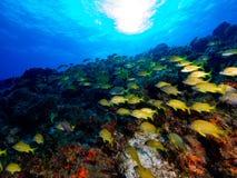 Школа желтых рыб на стене коралла Стоковые Фотографии RF