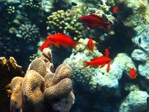 школа красного цвета anthias Стоковое Изображение RF