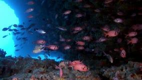 Школа морского окуня рыб морского окуня глаз красного больших подводных на морском дне в Мальдивах акции видеоматериалы